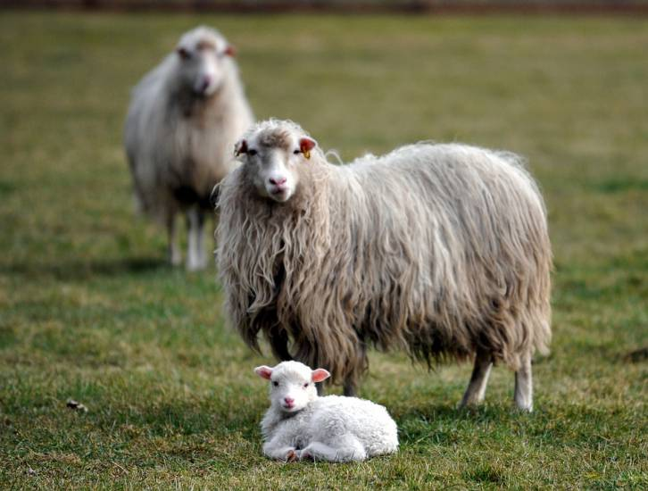 Lo scandalo di Viterbo: al macello degli orrori maltrattati gli agnellini